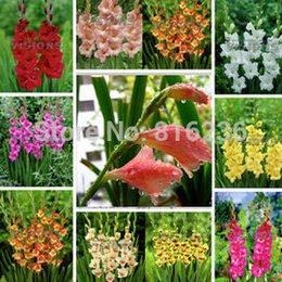 flower gladiolus Canada - Gladiolus, Gladiolus seeds, gladiolus flower, Fall and winter planting flowers - 50 seeds bag
