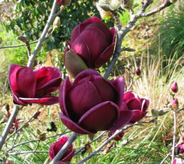 fragrant flowers NZ - Rare 'Genie' Genie Dark Red Yulan Magnolia Tree Flower Seeds, Professional Pack, 10 Seeds, Light Fragrant Garden Tree NF851