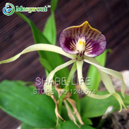 Wholesale 50pcs Octopus Orchid Seeds China Rare Flower Seeds For Home Garden Planting like Flowers Bonsai Semillas Flora