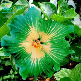 Beautiful perennial flowers nz buy new beautiful perennial flowers 50pcs giant double hibiscus seeds beautiful bonsai flower seeds perennial plants potted flower for home garden planting mightylinksfo