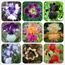 Discount heirloom flower seeds - 20 Rare Heirloom Iris Flower Seeds, Professional Packplant bonsai Tectorum Perennial