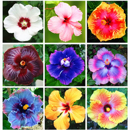 Hibiscus Seeds Australia New Featured Hibiscus Seeds At Best