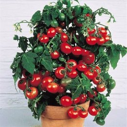 fruit vegetable seed wholesaler NZ - 100pcs Rushed New Outdoor Plants Promotion Garden tomato seed Potted Bonsai Balcony fruit Vegetables seed