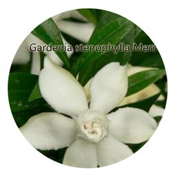 50Pcs A Set Gardenia Stenophylla Merr Flower Seed Hot Rare Seed Great  Quality Great Service Great Price From Iris Hua In China Thank You