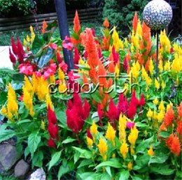 annual plants flowers UK - Colorful Plume Celosia Cockscomb Flower 1000 Seeds Easy-growing DIY Home Garden Annual Flower Plant Good Germination Landscape DIY Garden