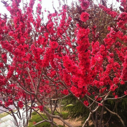 $enCountryForm.capitalKeyWord Australia - wholesale10 PCS Red Japanese cherry blossoms Seeds Courtyard Garden Bonsai Tree Seedsplant bonsai