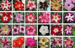 Discount desert roses plants - 10 pcs Real Adenium obesum Seeds Desert Rose Flower Seed Home Garden Bonsai Succulent Plants Seed For Sample Order