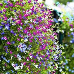 Lobelia Flower Australia New Featured Lobelia Flower At Best