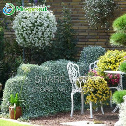$enCountryForm.capitalKeyWord Canada - 50 Dichondra Repens Silver Falls Emerald Falls Ground Cover Seeds in Hanging Baskets Very Creative Beautiful Potted Plants