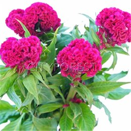 $enCountryForm.capitalKeyWord UK - 1000 Pcs Giant Purple Red Cockscomb Flower Seeds Celosia Super Easy to Growg Attractive Flower Beds Balcony Landscape Very Attractive