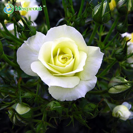 white rose china Canada - 100PCS China Rare White Rose Flower Seeds DIY Home Gardening Flower Potted Plant Balcony