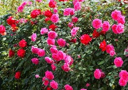 Four Seasons Cocktail Rose Flower Seeds 50 Outdoors Potted Green Planted  Rose Flower Seeds Easy Living Garden Climbing Flower Potted Potted