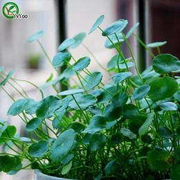 $enCountryForm.capitalKeyWord Australia - Copper grass Seeds Office desk potting seeds Bonsai Seeds Garden Plants Grass Seeds Annual Herb 100 Particles   lot t017
