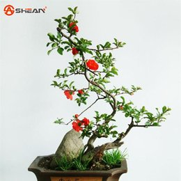 China Hot selling 10 PCS Begonia Flower Seeds 100% True Malus Spectabilis Seeds Potted Begonia Bonsai Plant Seeds DIY Home Garden supplier begonia seeds suppliers