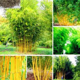 Phyllostachys Aureosulcata Casa Giardino Semi di piante Giardino Albero Semi di bambù Giardino di casa Pianta Verde fresco bambù 50 PZ in Offerta