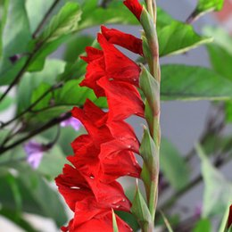 flower gladiolus Canada - Red Gladiolus Seeds Aerobic Potted Indoor Courtyard Garden Plant Seeds Gladiolus Flower Seeds Perennial 100 PCS