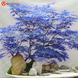 maple trees seeds Canada - Rare Blue Maple Seeds Maple Seeds Bonsai Tree Plants Potted Garden Japanese Maple Seeds 10 Pieces   lot