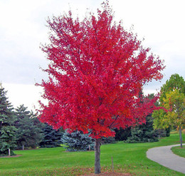 maple trees seeds Canada - Free Shipping 30 seeds pack of Bonsai American Red Maple Tree Seeds Big Plants Home Garden Flower Seeds
