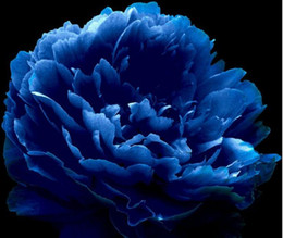 $enCountryForm.capitalKeyWord NZ - Very Rare 'Luo Yang' Dark Blue Tree Peony Flower Seeds, Professional Pack, 5 Seeds, New Variety Light up Your Garden NF736