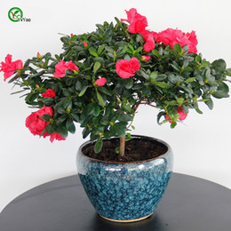 azalea bonsai 2019 - Indoor potted seeds Azalea Flowers Seeds Very beautiful Flower Seeds Bonsai Plant for Home Garden 30 Particles   lot Eas