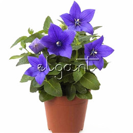 seeds for perennials 2019 - Balloon Flower Platycodon Grandiflorus Perennial Flower 500 Pcs Seeds for planting Easy to grow Popular for Flower Borde
