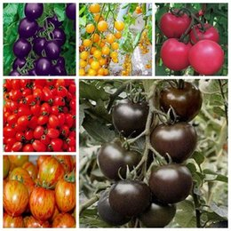 100pcs peer bag free shipping cherry tomato seeds rainbow vegetables seed fairy garden hot selling plant for home