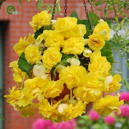 Chinese  30pcs Begonia Seeds ,Easy Growing Diy Garden Decoration Begonias Bonsai Potted,Easy to grow Begonia Seeds B029 manufacturers