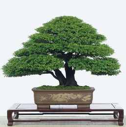 Wholesale 30 Bag Japanese Pine Tree Seeds bonsai flower easy growing DIY home garden bonsia Easy to grow