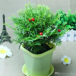 Chinese Indoor Plants Online | Chinese Indoor Plants for Sale