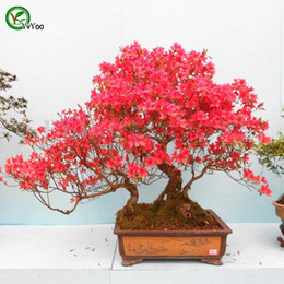 Discount azalea bonsai - Azalea Flowers Seeds Bonsai Flower for Indoor Rooms Seed 100 Particles   lot F024