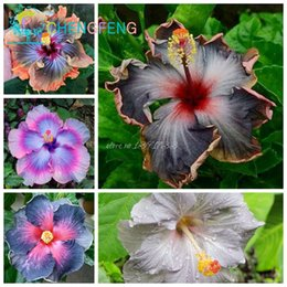 Shop Hibiscus Seeds Uk Hibiscus Seeds Free Delivery To Uk Dhgate Uk