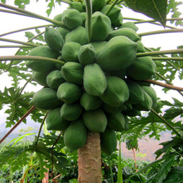 Chinese  20pcs bag papaya seeds Organic heirloom vegetable fruit seeds bonsai tree seeds edible plant for home garden manufacturers