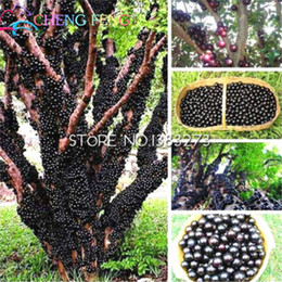 grape fruit seeds Australia - 100pcs Edible Good Taste Grape Jabuticaba Seeds Healthy Fruit Seeds Indoor&outdoor Bonsai Novel Plant Brazilian Grape Tree