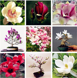 Magnolia Tree Seeds Online Shopping Magnolia Tree Seeds For Sale
