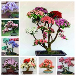 Discount azalea bonsai - 30 Pcs bag Rare Bonsai 12 Varieties Azalea Seeds Diy Home & Garden Plants Looks Like Sakura Japanese Cherry Blooms Flowe