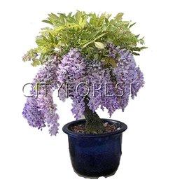 10 Семена Глициния Виноградный цветок для DIY Home Garden Бонсай или дворовое дерево Пейзаж Цветущий завод Очень красивый