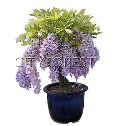 China 10 Seeds Wisteria Vine Flower for DIY Home Garden Bonsai or yard tree Landscape Flowering Plant Very Beautiful cheap flowering vine plants suppliers