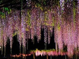 wisteria tree flowers 2019 - 5PC large climbing wisteria seeds (pink, yellow, blue, white, purple wisteria) tree seeds   each color 1 seed discount w