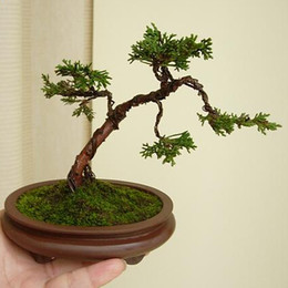 Wholesale Cypress trees Platycladus orientalis seeds Conifer seeds DIY home garden bonsai tree seed particles bag