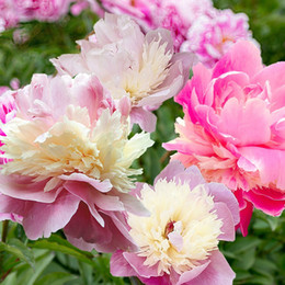 wholesale peony seeds Australia - 3 Zyverde Peonies Sorbet Flower Bulbs root not seed