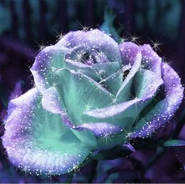 Wholesale Mint And Purple Rose Seeds Pieces Seeds Per Package New Arrival Ombre Charming Garden Plants Rose Flower Seeds
