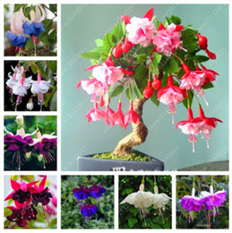 Chinese  100 pcs bag fuchsia seeds, fuchsia flower, bonsai Hanging flower seeds, potted plant Lantern Begonia seeds for home garden manufacturers