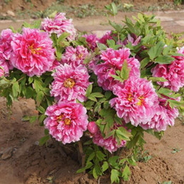 wholesale peony seeds Australia - 1 Original Pack 6 Seeds Peony, Chinese Peony flower seeds Perennial Garden plants seeds