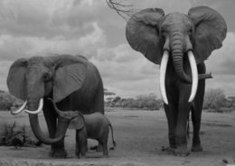$enCountryForm.capitalKeyWord NZ - Elephants Wildlife Landscape Black & White Art Silk Poster 24x36inch 24x43inch