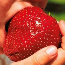 China Fruit seeds 100 pcs Super Giant Strawberry perfume bonsai strawberry fruit, edible strawberry seeds for home garden plant supplier edible gardening suppliers