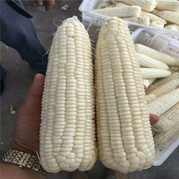 wholesale corn seeds NZ - Suntoday Sweet White Waxy Corn High Yield Heat Cold Maize Zea Mays Seeds Asian Garden Plant Heirloom Non-GMO Hybrid Organic Fresh Seeds