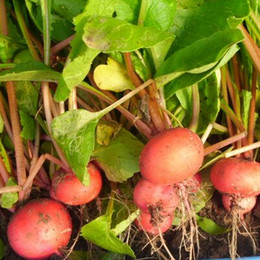 Radishes seeds online shopping - Cherry Radish Seeds Chinese Vegetable Organic seeds particles bag