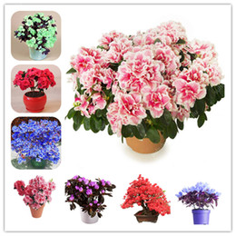 azalea bonsai 2019 - Azalea Seeds Rare Bonsai Perennial Flower Beautiful Plant Seeds Cover Mixed Color Flower Bonsai Diy Plant Home Garden 10