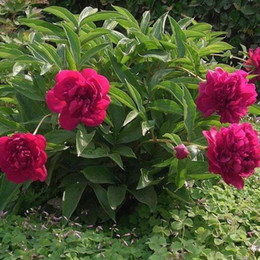 wholesale peony seeds Australia - Flowering Plant Paeonia Lactiflora Seeds, Beautifying Garden Peony Seeds, Perennial Chinese herbaceous peony Seeds 20 particles bag