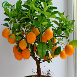 Sementes de laranja escalada orange tree bonsai sementes de frutas Orgânicas Como um pote de árvore de Natal para casa jardim planta 30 pçs / saco A03 venda por atacado